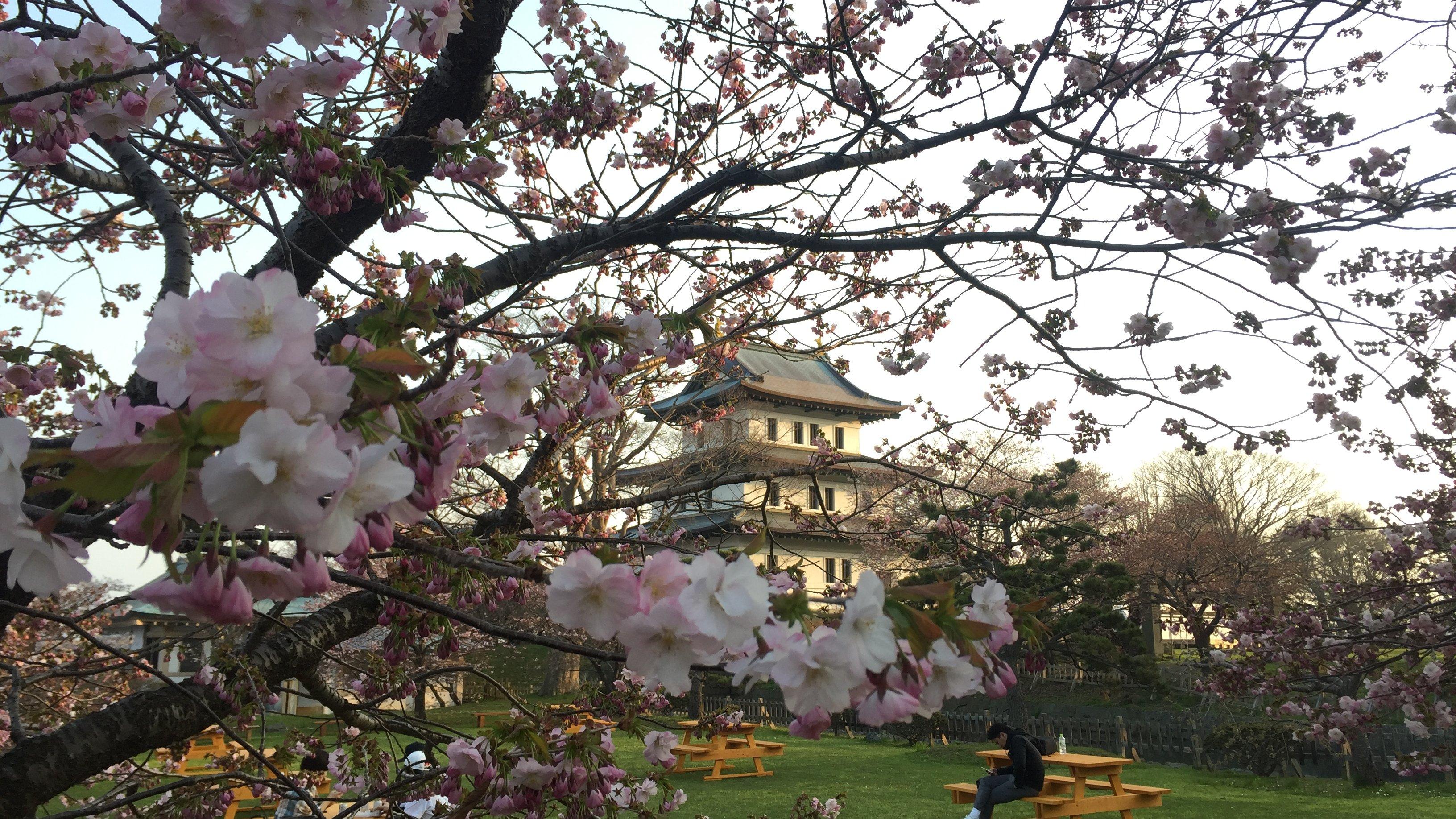 北海道の松前公園の桜は長い期間楽しめておすすめ!松前さくらまつりに行ってきた!【注意点あり!】