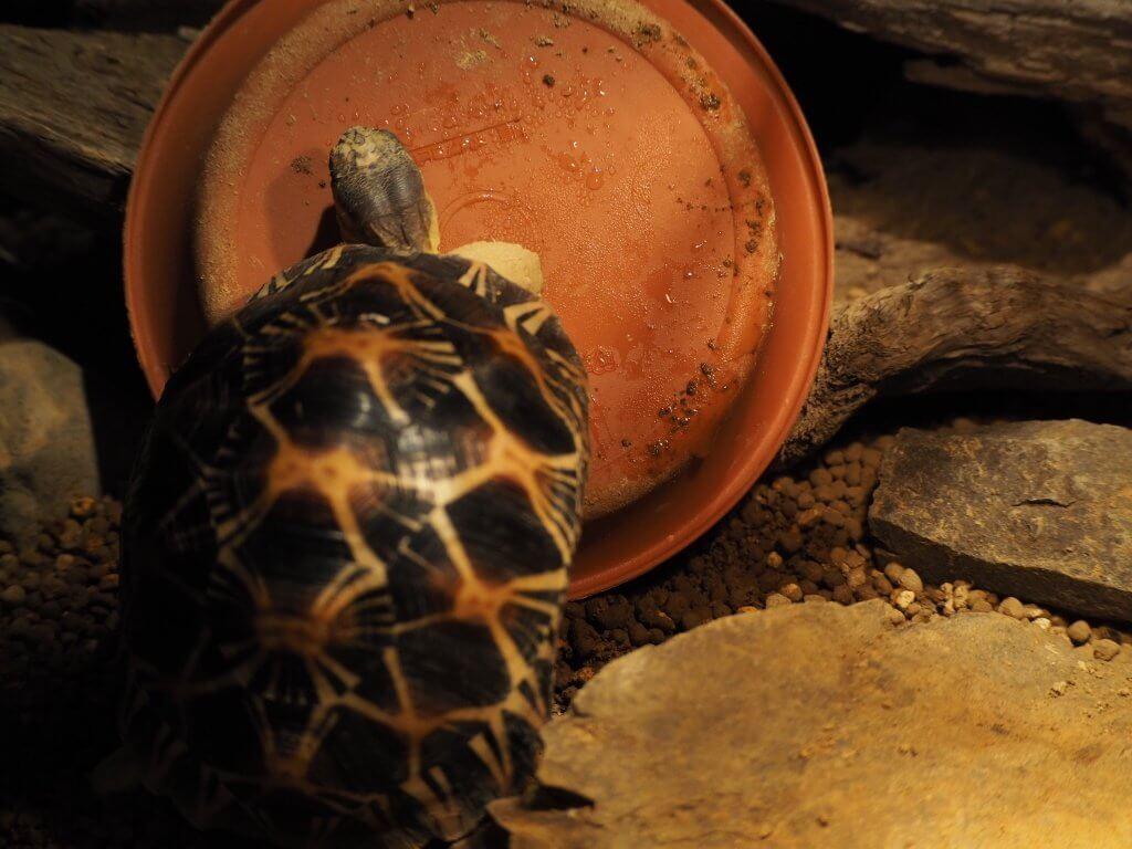鮮やかな色の甲羅を背負った亀
