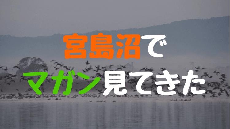 【秋】宮島沼へマガンのねぐら立ちを見てきた。ピーク過ぎてもなかなか