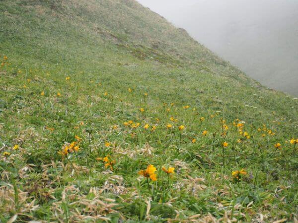 礼文島に咲く花
