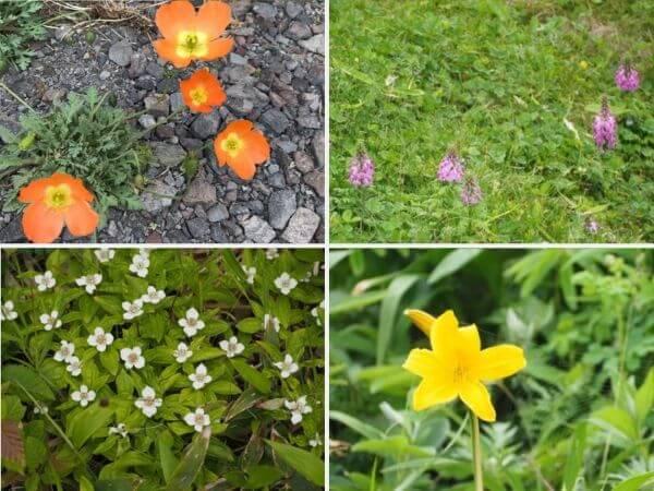 礼文島に咲く花たち