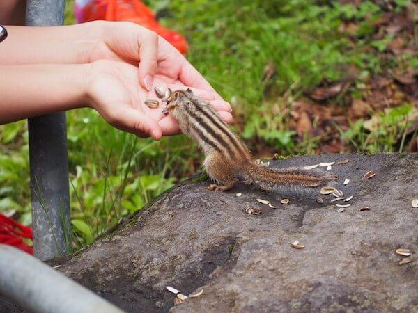 小樽天狗山のシマリス公園のシマリスにえさをあげてる様子