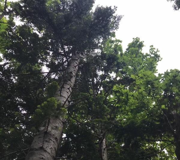 知床五湖の白樺の木
