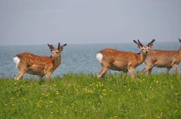 野付半島の野生の鹿