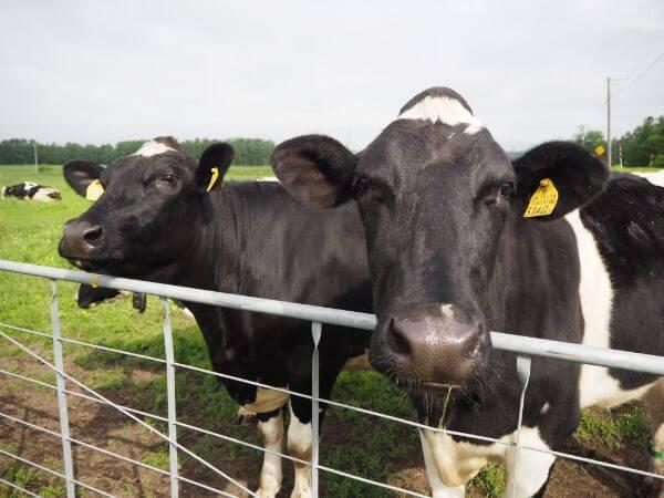 竹下牧場の牛