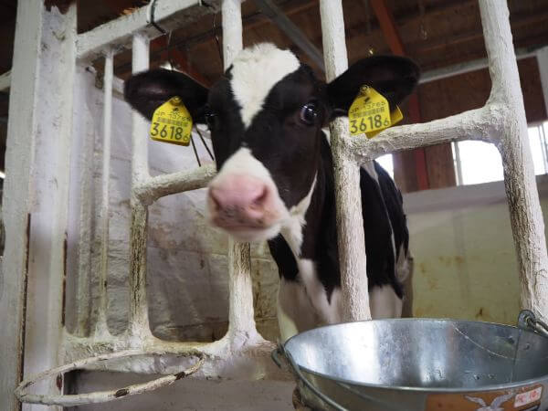 竹下牧場の子牛
