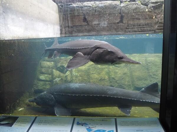 標津サーモン科学館のチョウザメ